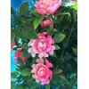 Guirlande de roses roses